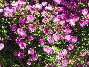 Herbstaster lila