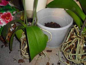 orchideen umpflanzen